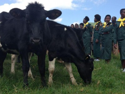 Pathfinders keeping watch over 25 cows at a giveaway near Gisenyi, Rwanda, on May 22. Images by Andrew McChesney/AR